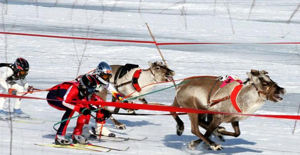 Courses de rennes au Fort des Rousses